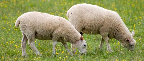 sheepWool